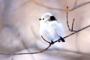 Shima Enaga Bird Long-Tailed Tit