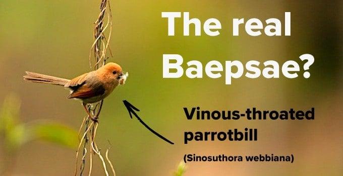 Vinous Throated parrotbill